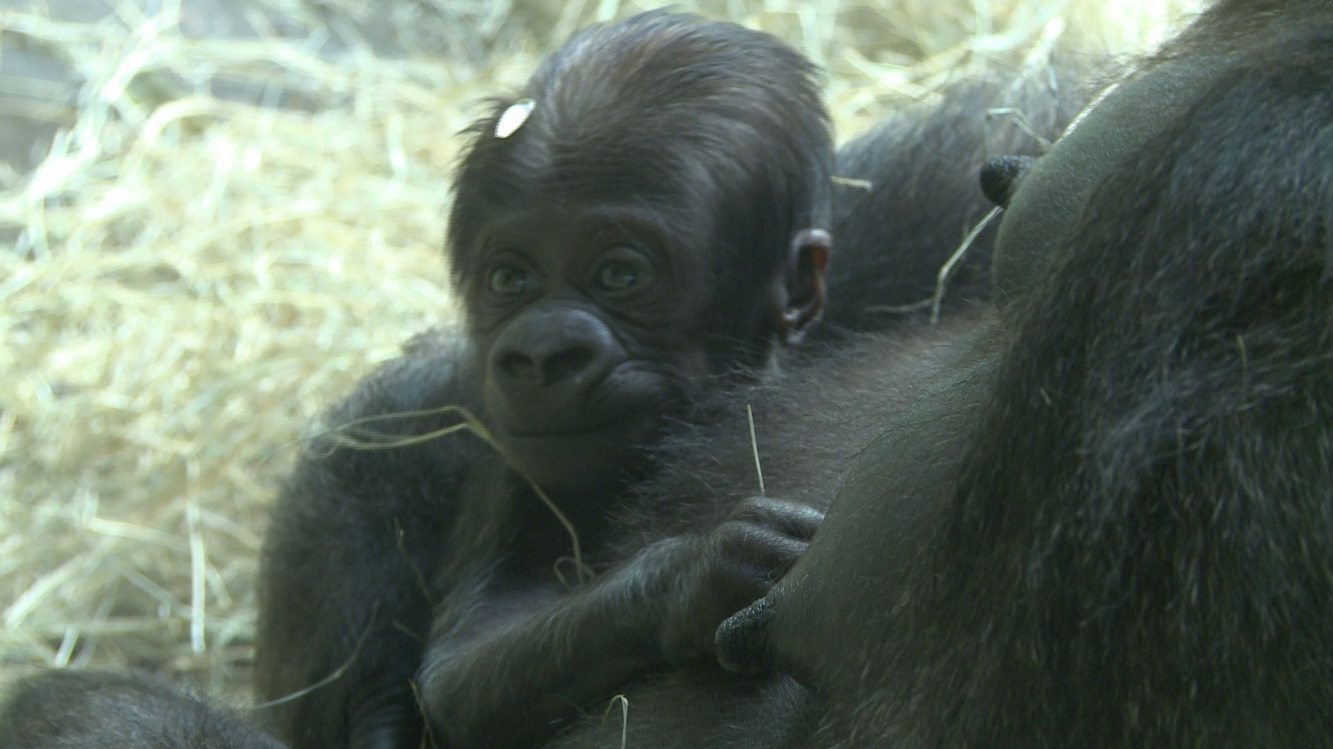 Gorilla For One Gorilla Ver