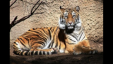 Tiger at Sacramento Zoo killed by mating partner